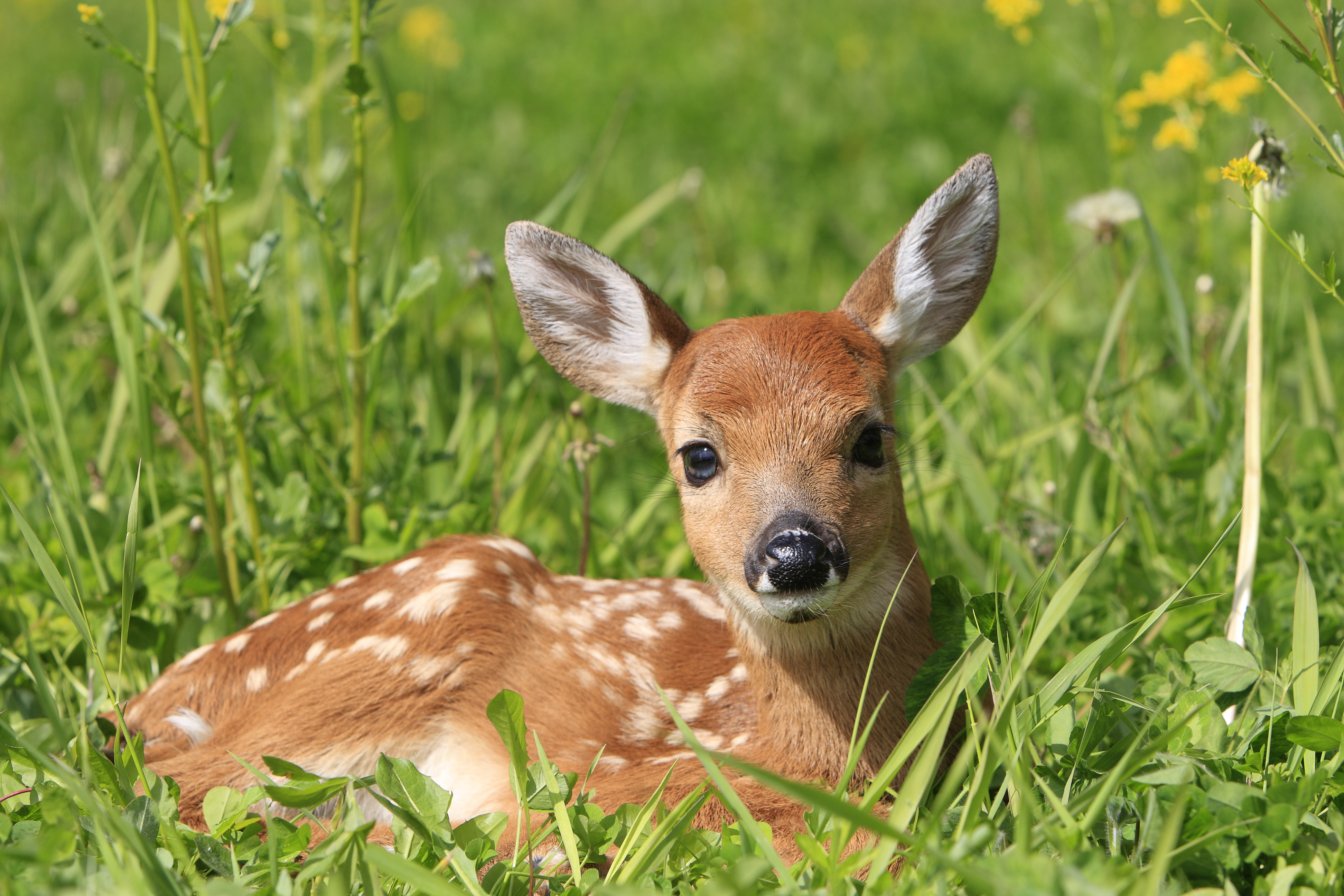 Fawn Laying in Grass